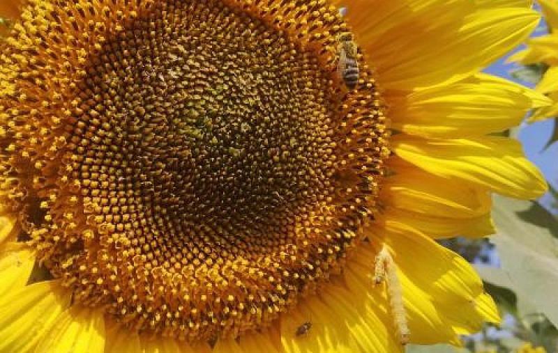 В Новоселицком округе продолжается мониторинг посевов подсолнечника и кукурузы